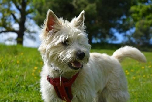 Керн-терьер (Cairn Terrier)